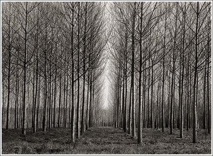 010_straight_trees_italy